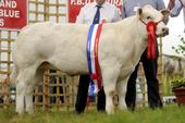 2011_calf_senior_female.jpg